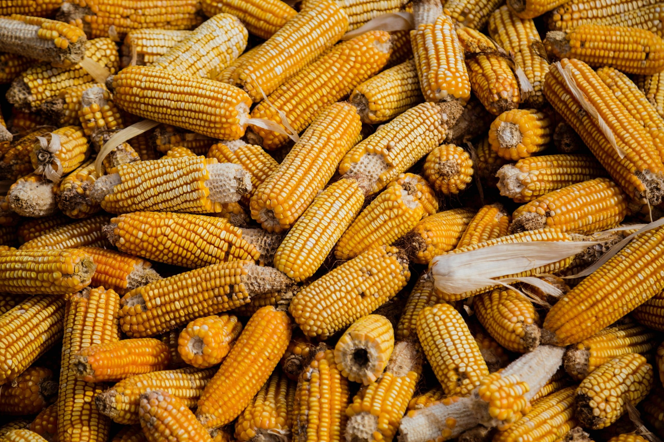 The Signs of Corn Spoilage