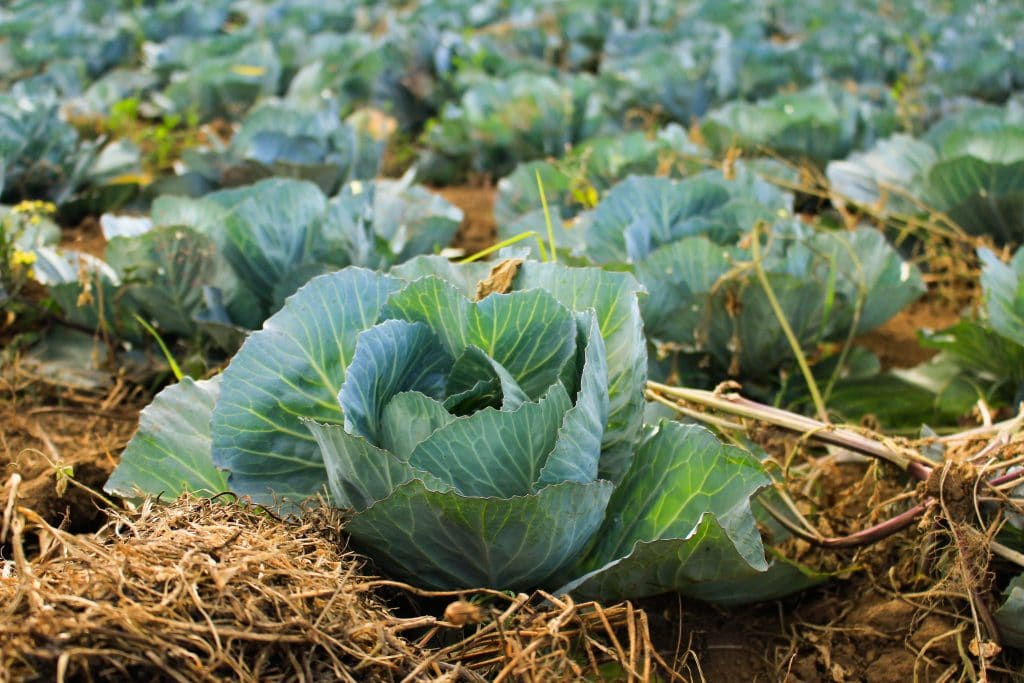 Where to Stock Cabbage And How to Do It Right. Handy Information