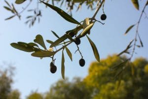 Lifespan Of Olives And What It Depends On